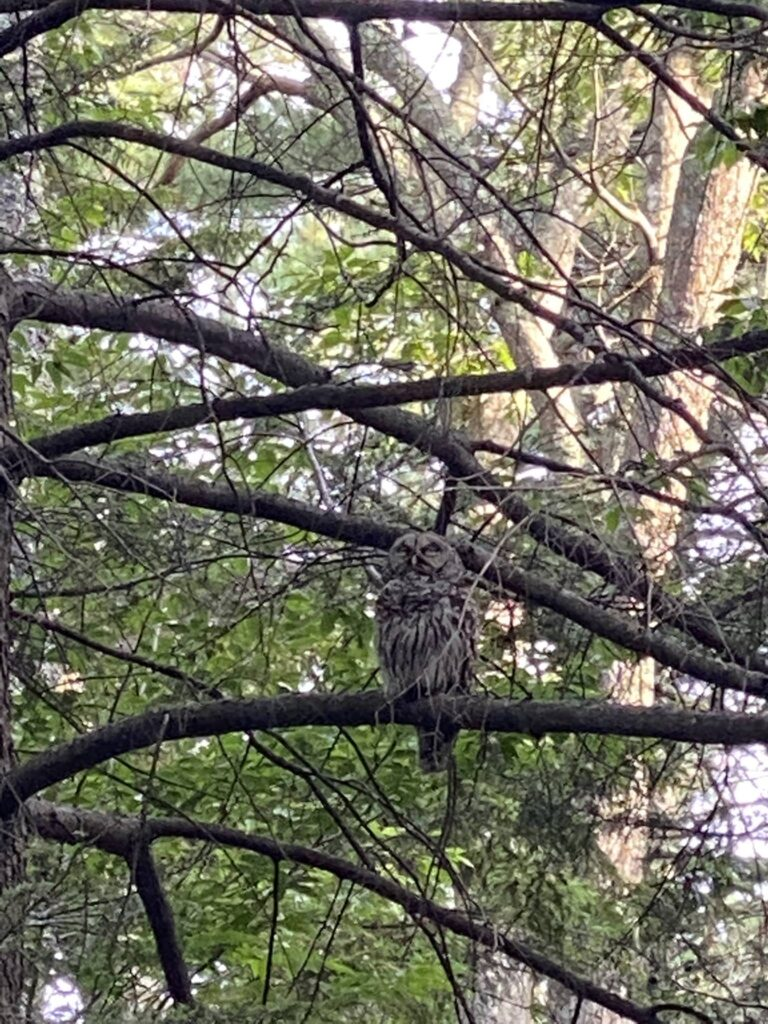Great Grey Owl n New Hampshire